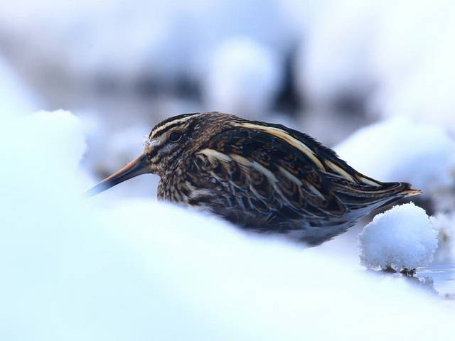 Атласопределитель птиц России